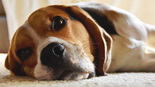 Simple Tricks to Get Dog Hair out of Carpets and Furniture A Mum Reviews