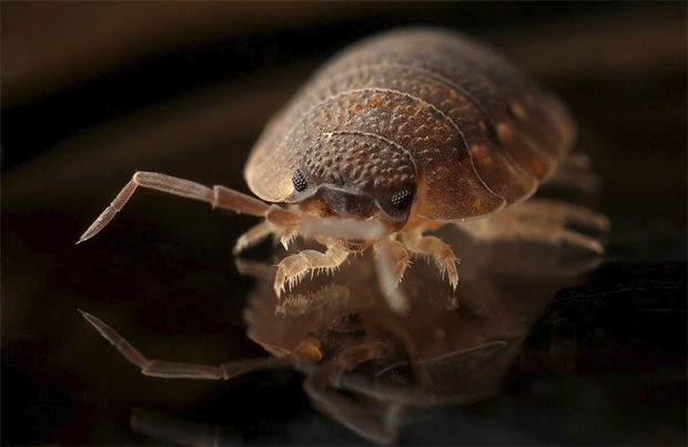 Bed Bugs - Why they Appear and How to Get Rid of Them A Mum Reviews