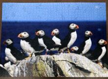 Puffins On Farne Island